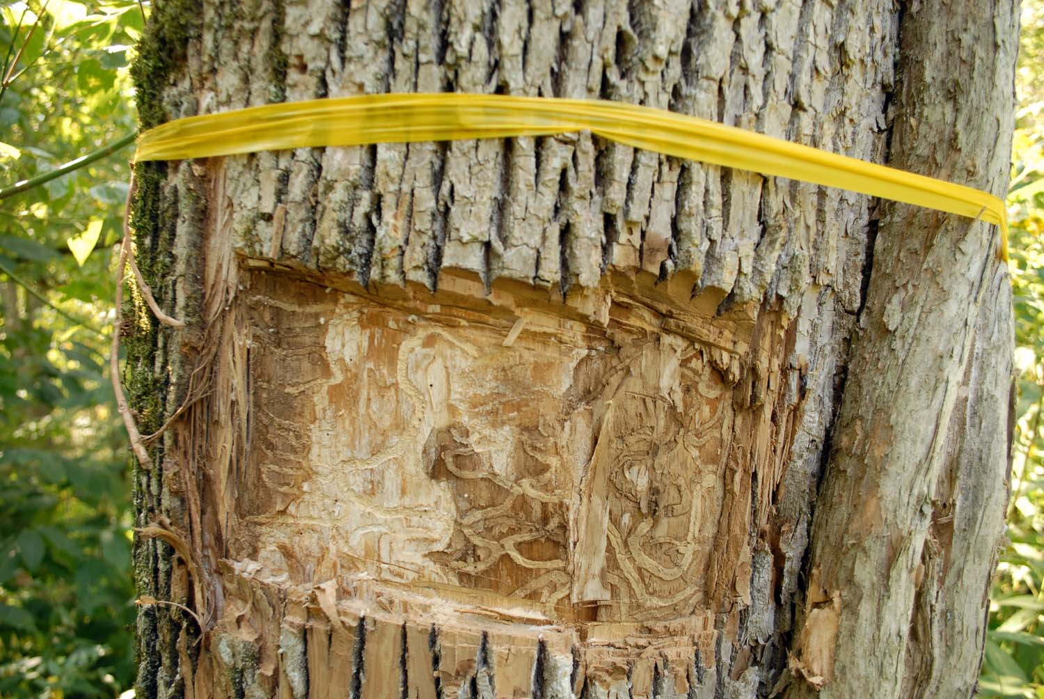 picture of emerald ash borer affects on trees