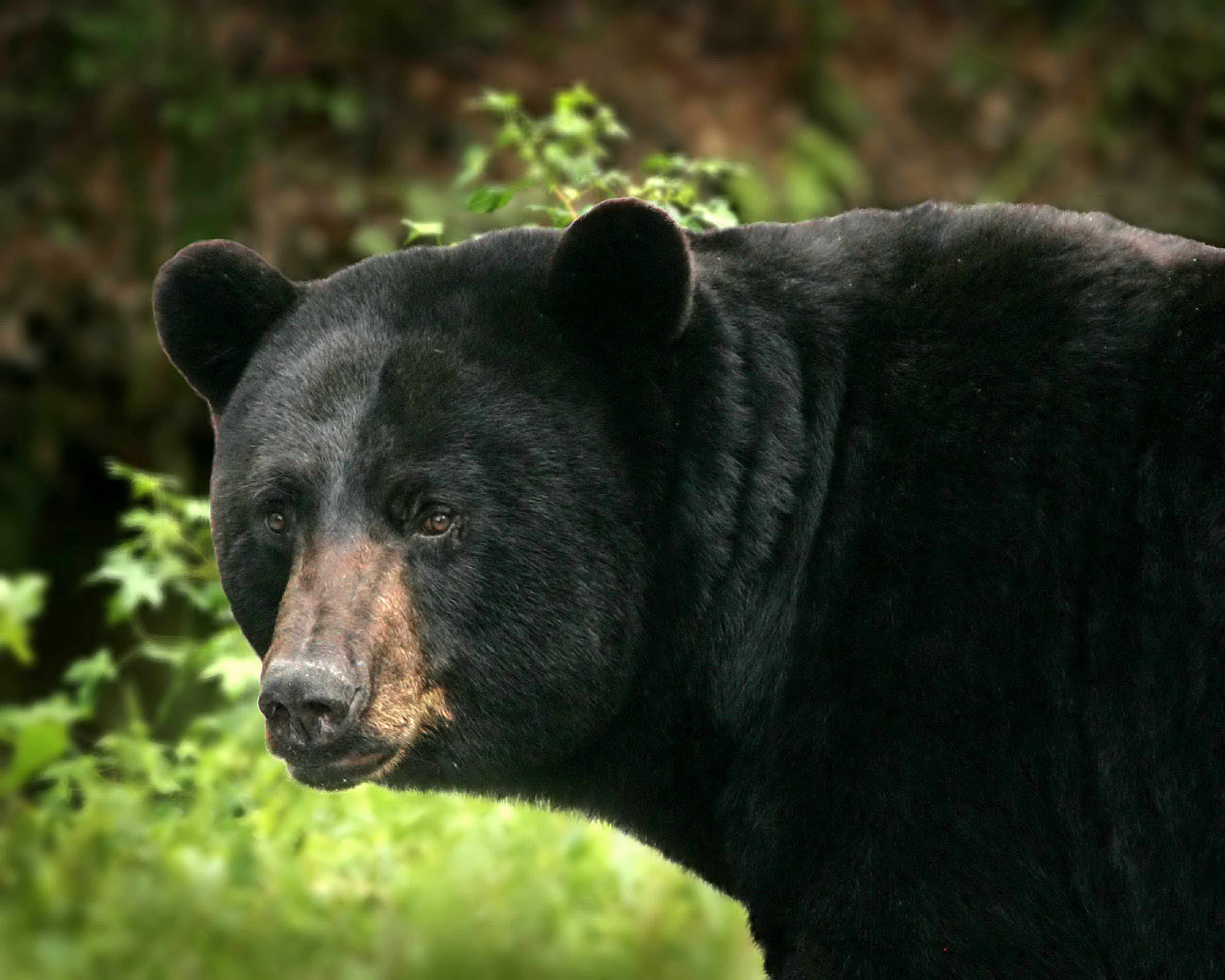5 Facts About Black Bears