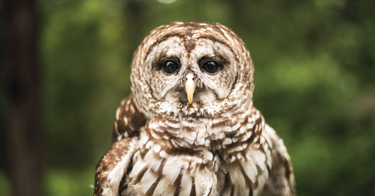 Owl at Chickasaw State Park